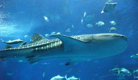 沖縄美ら海水族館のおすすめは?所要時間と混雑を避けるには?