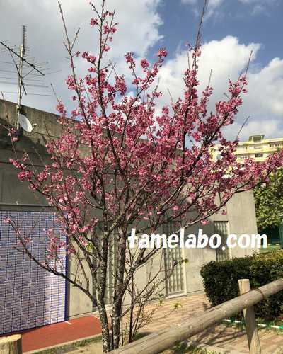 浦添市民球場 桜
